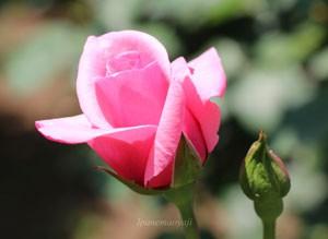 カリーナの花色はくすみの無い透き通ったピンク色です