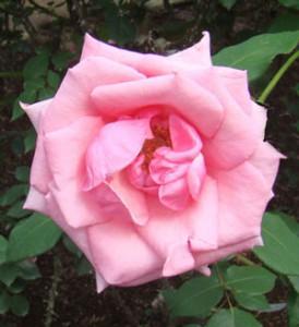 カリーナの花首は細くて長い