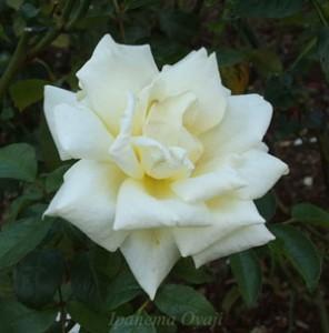 白色の花弁の中心が淡いクリーム色の剣弁高芯咲きのバラ