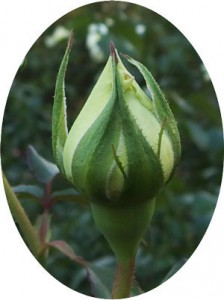 整形花が開きやすいのがキャロリーヌドモナコです