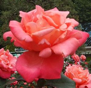 カトリーヌドヌーブは花径が13cm以上の巨大輪になる
