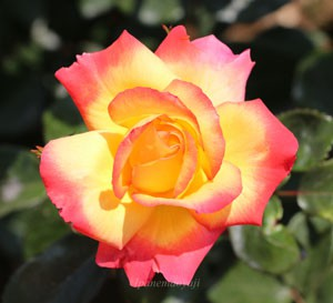 チャールストンの花径は約7cmの中輪花