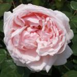 チョーサー 薔薇