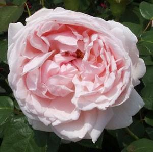 チョーサーは大輪咲きで花形はロゼット咲きです