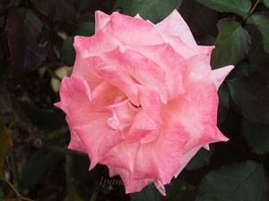 チェリッシュは花径が約8cmの中輪サイズ