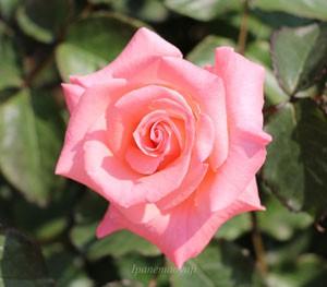 チェリッシュの花形は剣弁高芯咲きです