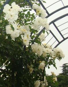 シティ・オブ・ヨーク白色の花弁は中輪サイズ