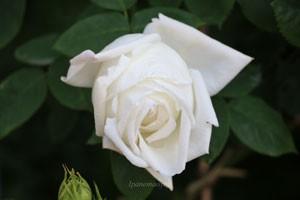 フラウ カール ドルシュキの花径は約10cm
