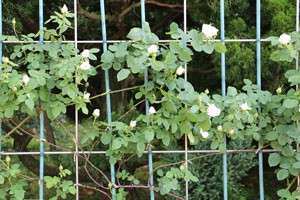 フラウ カール ドルシュキは返り咲き品種です