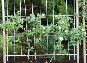 フラウ カール ドルシュキは純白の花色です