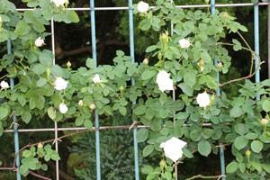 フラウ カール ドルシュキはオールドローズの雰囲気がある花姿