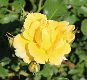 つるゴールド バニーの花形は丸弁カップ咲きです