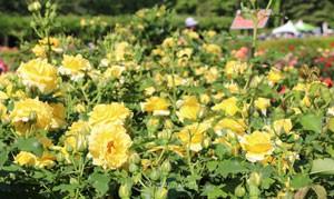 つるゴールド バニーは花つきがとてもよい品種です