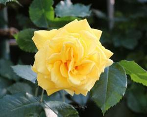 つるゴールド バニーの花色は鮮やかな黄色