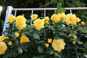 つるゴールド バニーは黄色系つるバラの中でも特に人気がある