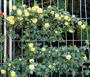 つるゴールド バニーは花径が7cm程の中輪サイズ