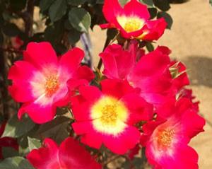 カクテルは人気の高い一重咲きつるバラ