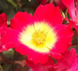 カクテルはシュラブ系統のバラ