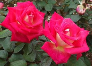 コロラマはハイブリッドティー系統のバラです