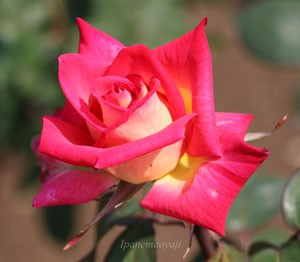 コロラマの花形は剣弁高芯咲きです