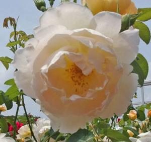コンテ・ドゥ・シャンパーニュの花径は7cmの中輪サイズです