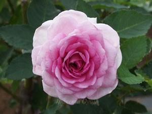 コティヨンは花径7cmほどの中輪花です