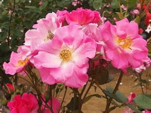 カウンティフェアは数輪の房咲きになり多花性です