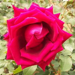 クリムソングローリーは剣弁高芯咲きです