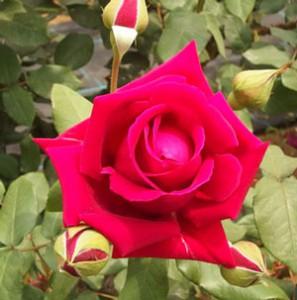 ビロード調の花弁を持っている初めての深紅色バラ