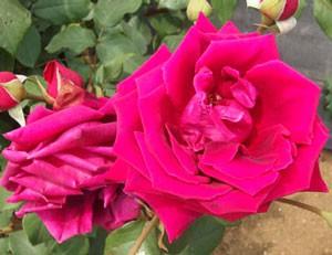 数多くの現代バラの交配親となった品種です