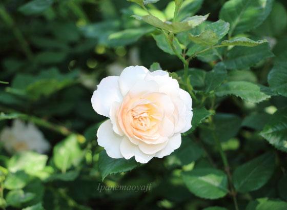カップ咲きから徐々にロゼット咲きに変わります