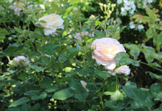 クロッカスローズはシュラブ系統のバラ