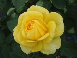 伊豆の踊り子は濃い黄色の半剣弁咲きです