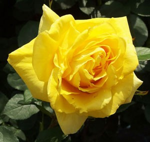 伊豆の踊り子は開花が進むとロゼット咲きに変わりますね