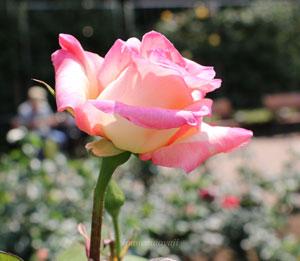 エレガントレディは春より秋の花のほうが見事な品種です