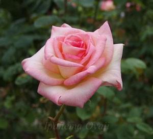 ダイアナ・プリンセス・オブ・ウェールズの花形は剣弁高芯咲きです