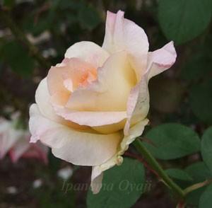 ダイアナ・プリンセス・オブ・ウェールズはクリーム色の生地にピンクの覆輪が入る