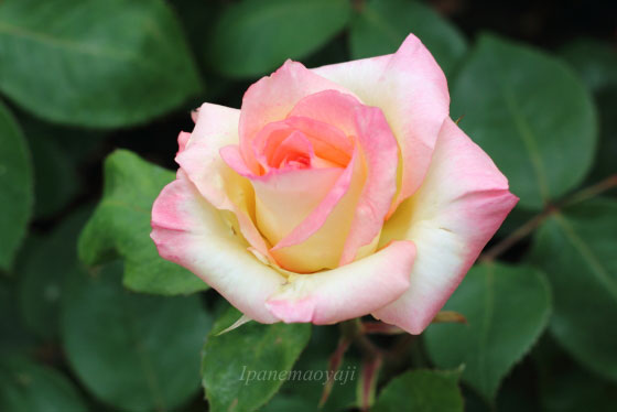 ダイアナ・プリンセス・オブ・ウェールズは四季咲きです