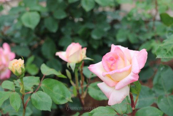 ダイアナ・プリンセス・オブ・ウェールズは大輪サイズの花