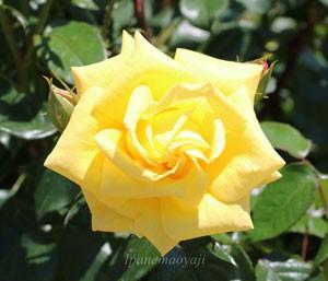 ドクター ファウストは四季咲き品種