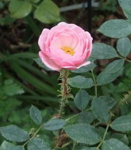 ドレスデン ドールはガクやツボミにオールドローズの影響が色濃く出るバラ