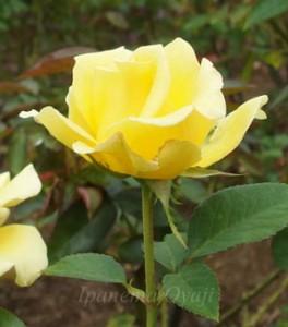 ハイブリッドティー種にしてはスッキリした花形です