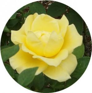 ドフトゴールド 薔薇