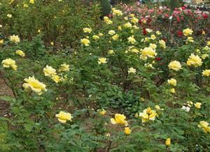 半直立性の株立ちで早咲きの品種