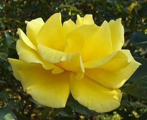 ドフトゴールドの春の花は弁端に軽く切れ込みが入る