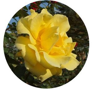 ドゥフトゴールドの花弁数は10~15枚と少ない