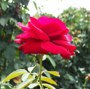 ドゥフトツァウバー'84は四季咲きです