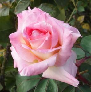 エレガントレディは剣弁高芯咲きの大輪花