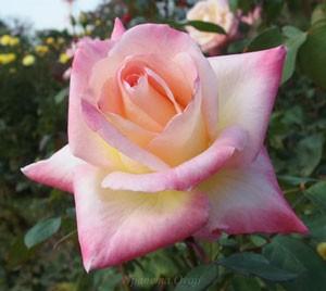 エレガントレディはクリーム色の記事に濃いピンク色の覆輪が入る