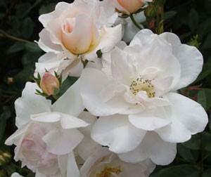 エルフは純白の生地の弁端が薄いピンク色に染まる